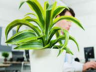 <br />ऑफिस में सजावट ऐसी हो जो सकारात्मक ऊर्जा दे. ऑफिस की खिड़की से गार्डन नहीं दिखता तो कोई बात नहीं. सजावट के लिए ऐसे पौधे लगाएं. देखें डेस्क पर रखने के लिए छोटे और सुंदर पौधे.(image: getty)
