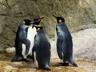 पेंगुइन को आप मोबाइल, टीवी, लैपटॉप और मैगजीन्स में देखते हैं लेकिन कितना जानते हैं इस ख़ूबसूरत से दिखने वाले अनोखे जीव के बारे में?<br />हम बताते हैं पेंगुइन के बारे में ऐसी बातें जिन्हें आप ज़रूर जानना चाहेंगे.<br />पेंगुइन दक्षिणी गोलार्ध पर पाया जाने वाला ऐसा जलीय पक्षी है जो उड़ नहीं सकता.