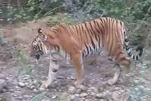 EXCLUSIVE VIDEO: इसी आदमखोर बाघ ने 4 दिनों में 3 लोगों को बनाया है निवाला
