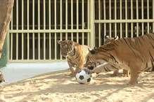 VIDEO: देखिए, कहां बाघ भी खेलते हैं फुटबॉल