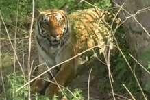 बांधवगढ़ टाइगर रिजर्व में मॉनसून अलर्ट, पेशेवर शिकारियों से ऐसे होगा बचाव