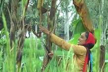 VIDEO: केले की खेती से ममता हुई खुशहाल, हर साल 1.25 लाख कमा रही