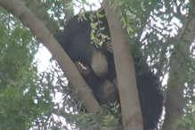 VIDEO: नीम के पेड़ पर चढ़ा भालू, देखने के लिए उमड़ी भीड़