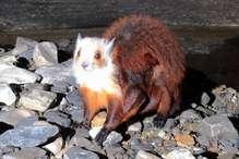 गंगोत्री नेशनल पार्क में दुर्लभ वन्य जीवों के मिलने से वन प्रेमियों में उत्साह