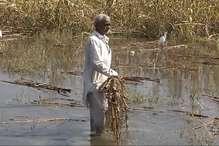 खेतों में सड़ रही किसानों की मेहनत, सरकार कर रही मंडियों में इंतजार!