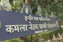 इंदौर में जू प्रभारी ने बाघ शावकों को कुत्तों से लड़वाया, अब कार्रवाई में फंसे