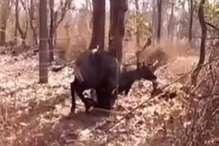 VIDEO: दो पेड़ों के बीच फंसी नीलगाय, 2 घंटे की मशक्कत से किया रेस्क्यू