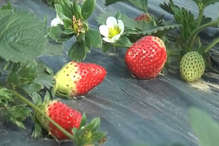 VIDEO: सिरमौर की स्ट्रॉबेरी की मिठास के दीवाने हुए पड़ोसी राज्य