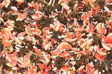यहां आदिवासी महिलाएं फूलों से तैयार करती हैं 'हर्बल गुलाल', देशभर में है डिमांड