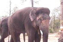 जानिए कैसे, सूरजपुर में हाथी ही करेंगे जंगली हाथियों को काबू...