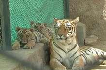 VIDEO : छोटे बाड़े से बाहर निकले बाघिन रंभा के साथ दोनों शावक तो दिखाए तेवर