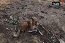 शौच करने गए युवक पर बाघ ने किया हमला, मालिक को बचाने के लिए भिड़ गया कुत्ता