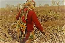 महाराष्ट्र के गन्ने की मिठास में आंसुओं का स्वाद क्यों है?