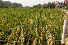 क्या गन्ना और धान की फसल से बढ़ रहा है जल संकट?