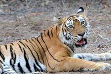बाघों की कब्रगाह बनता सरिस्का, टाइगर ST-16 ने हीट स्ट्रोक से तोड़ा दम