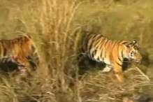 कान्हा नेशनल पार्क में तीन माह नहीं दिखेंगे बाघ, ये है वजह
