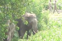रुद्रपुर में दो हाथियों की मौजूदगी के चलते दहशत का माहौल