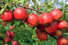 सेब बागवानों से खुली लूट, हिमाचल विधानसभा में गूंजा मुद्दा