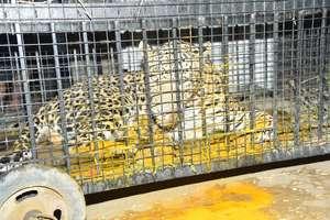 PHOTOS: घात लगाकर बैठा था तेंदुआ, वन विभाग की टीम ने ऐसे किया काबू
