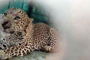 PHOTOS:7 लोगों को घायल कर चुका खूंखार तेंदुआ पिंजरे में फंसा
