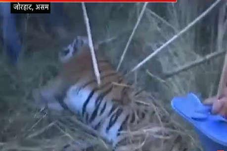 मरे हुए बाघ के आगे वहशी हुए लोग, लाश से उतारी खाल, नोंचे बाल