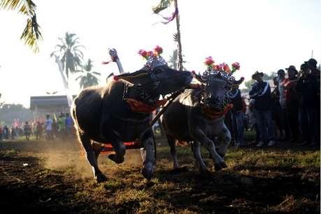 बैलगाड़ी दौड़ को मंजूरी देने के लिए महाराष्ट्र सरकार ने कानून बदला