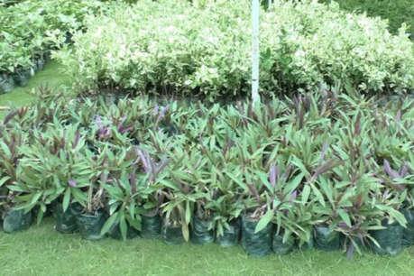 वन विभाग ने लिया फैसला, रोपे जाएंगे दो फीट से ज्यादा लंबे पौधे
