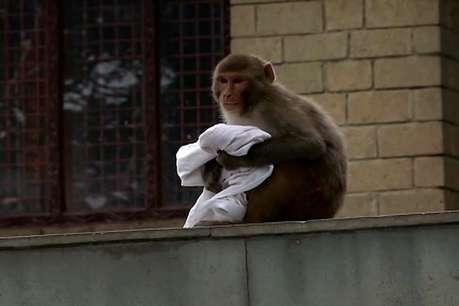 सरकार कराएगी बंदरों की नसबंदी, ये है वजह