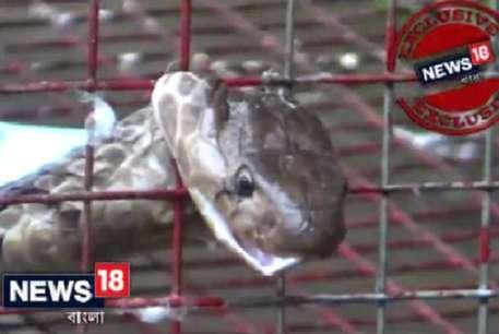 VIDEO: शिकारी कोबरा की खुद आ गई शामत, फंसा बुरा..देखिए कैसे