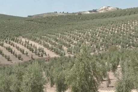 प्रदेश के किसानों को फायदेमंद साबित हो रही जैतून की खेती