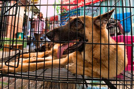भारत के इन आवारा कुत्तों की खुली किस्मत, जाएंगे विदेश