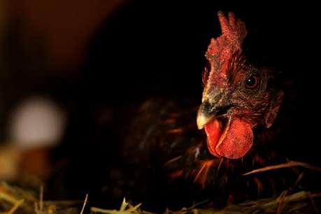 युवक ने मुर्गी के साथ किया रेप, गिरफ्तार