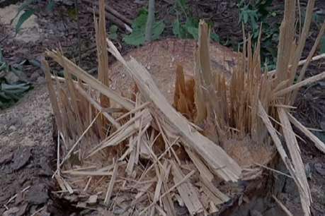 FRI में सक्रिय हैं तस्कर, चंदन के पेड़ भी काटे.... लेकिन कार्रवाई पर संस्थान खामोश