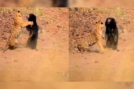 जंगल में 'रेसलिंग' का VIDEO VIRAL, इस दांव से भालू ने बाघ को किया चित!