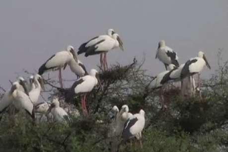 इन पक्षियों को ग्रामीण मानते हैं देवदूत, अच्छी बारिश और फसल का देते हैं संकेत