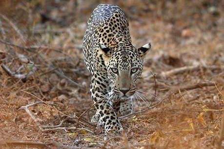 शिकार की लालच में गांव आए तेंदुए की कुएं में गिरने से मौत