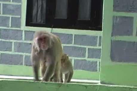 हिमाचल प्रदेश: सरकार ने बंदरों को मारने की तारीख 31 मार्च 2019 तक बढ़ाई