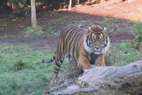 प्रजनन के लिए बाघिन के पास बाघ को भेजा, दोनों की लड़ाई में बाघिन की मौत