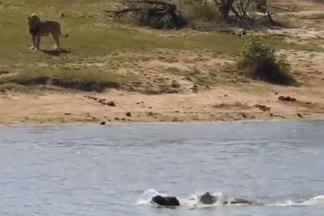 शेर और मगरमच्छ के बीच फंस गया भैंसा, VIDEO में देखें कैसे बची जान