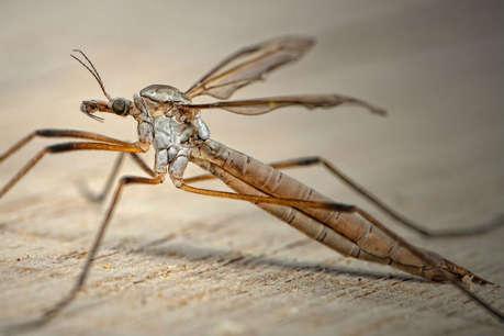 इस मच्छर के काटने से होती है यह जानलेवा बीमारी, पैदा होने वाले बच्चे पर पड़ता है ऐसा असर