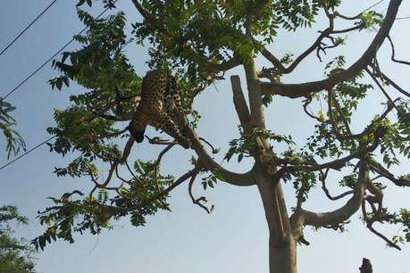 गुरुग्राम से सटे सोहना में बिजली के तार की चपेट में आने से तेंदुए की मौत
