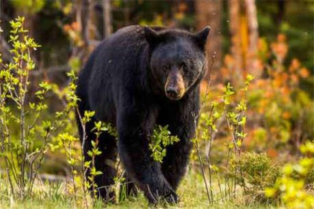 जंगल से भटककर रिहायशी इलाके में पहुंचे भालू ने चार लोगों पर किया हमला