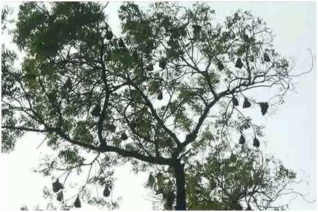 चमगादड़ वाला अनोखा पेड़ बना चर्चा का कारण, दुनिया में हैं 1100 प्रजातियां