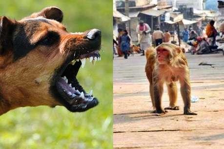 शिमला में बंदरों और कुत्तों का आतंक, 15 लोगों को काटा