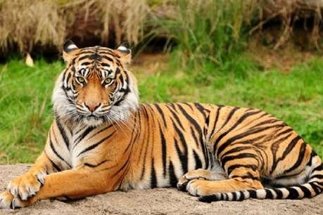 सुर्खियां: छत्तीसगढ़ में घट गई बाघों की संख्या, भारी बारिश से प्रदेश में रेड अलर्ट जारी