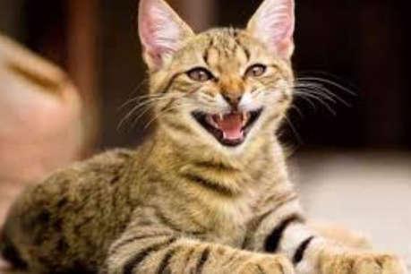 बरेली में OLX पर बिल्ली बेचने वाले युवक से ठगी, केस दर्ज