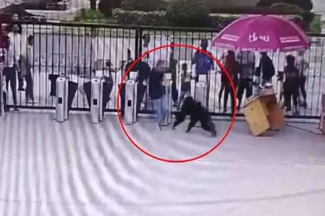 चिड़ियाघर से भागा चिंपांजी, कर्मचारी ने रोका तो उछलकर मारी लात, वीडियो VIRAL