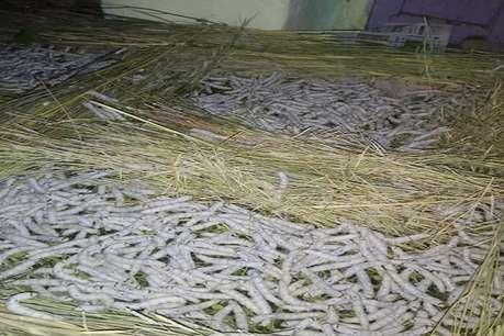 जेपी नड्डा के गोद लिए गांव दियोली के किसान कोकून के दाम कम मिलने नाराज, लगाए ये आरोप