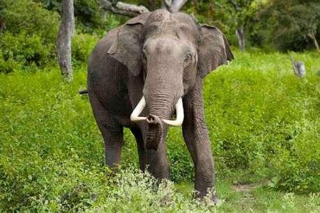 भारत औरएशियाके जंगलों में क्यों छोटे-छोटे गैंग बना रहे हैं हाथी?