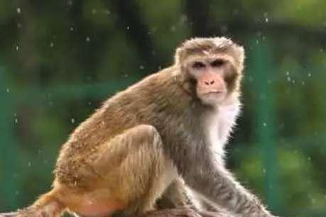 करोड़ों की संपत्ति का मालिक बना ये बंदर, शादी में मिलेगा आलीशान महल